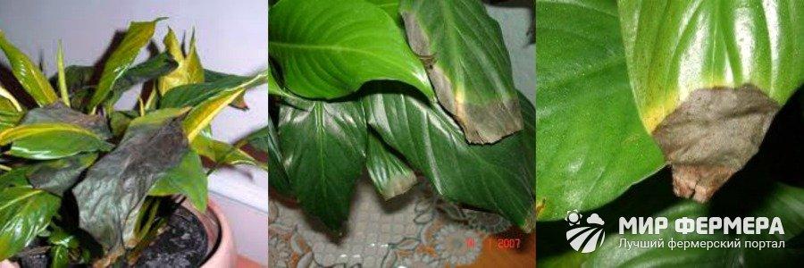 Метка: Почему у спатифиллума чернеют листья по краям