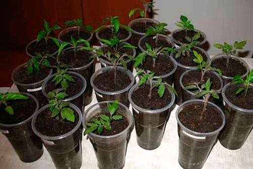 Когда в марте можно пикировать рассаду помидор?