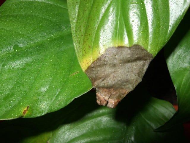 У спатифиллума чернеют листья: причины болезни и лечение