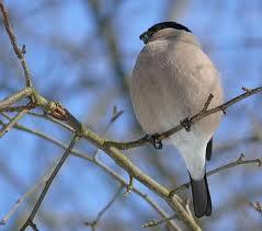 Снегирь — доверчивая птица